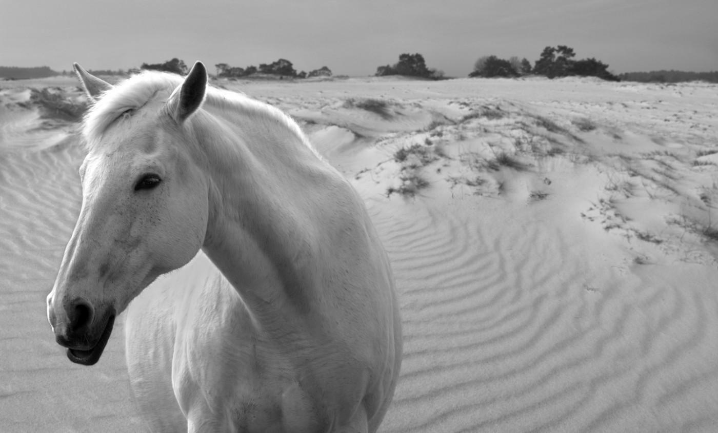 Paard Kootwijk