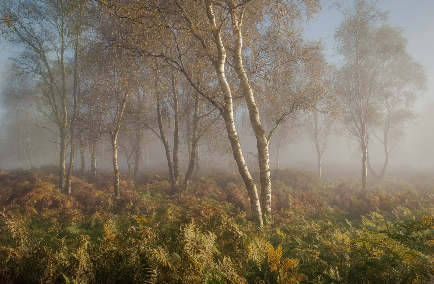 Berken in mist