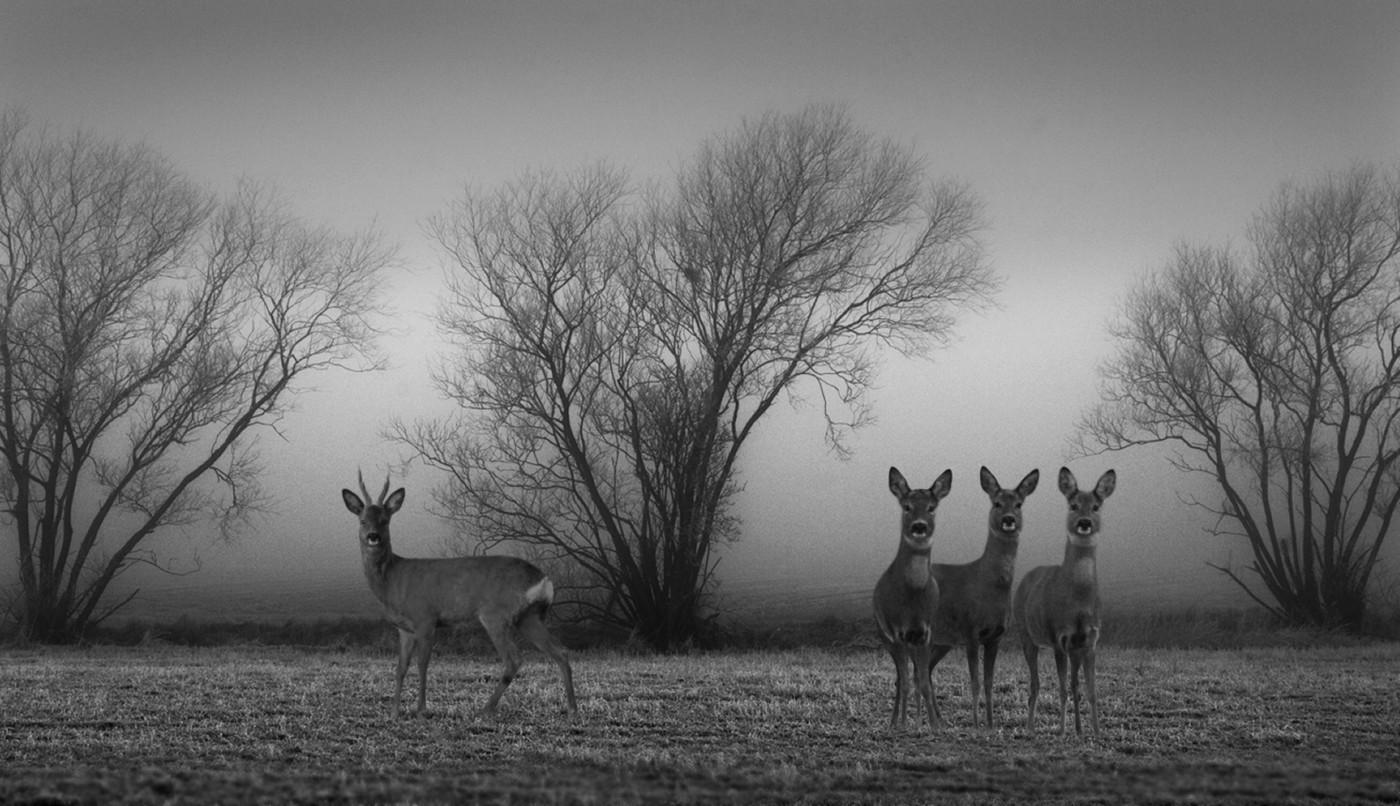 Roe deer in Holland