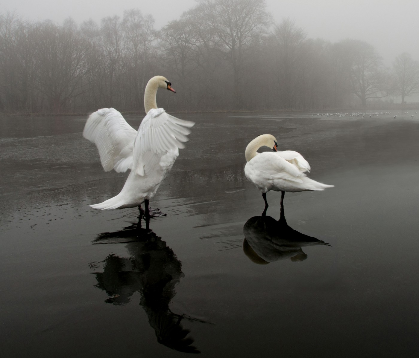 Zwanen op het ijs