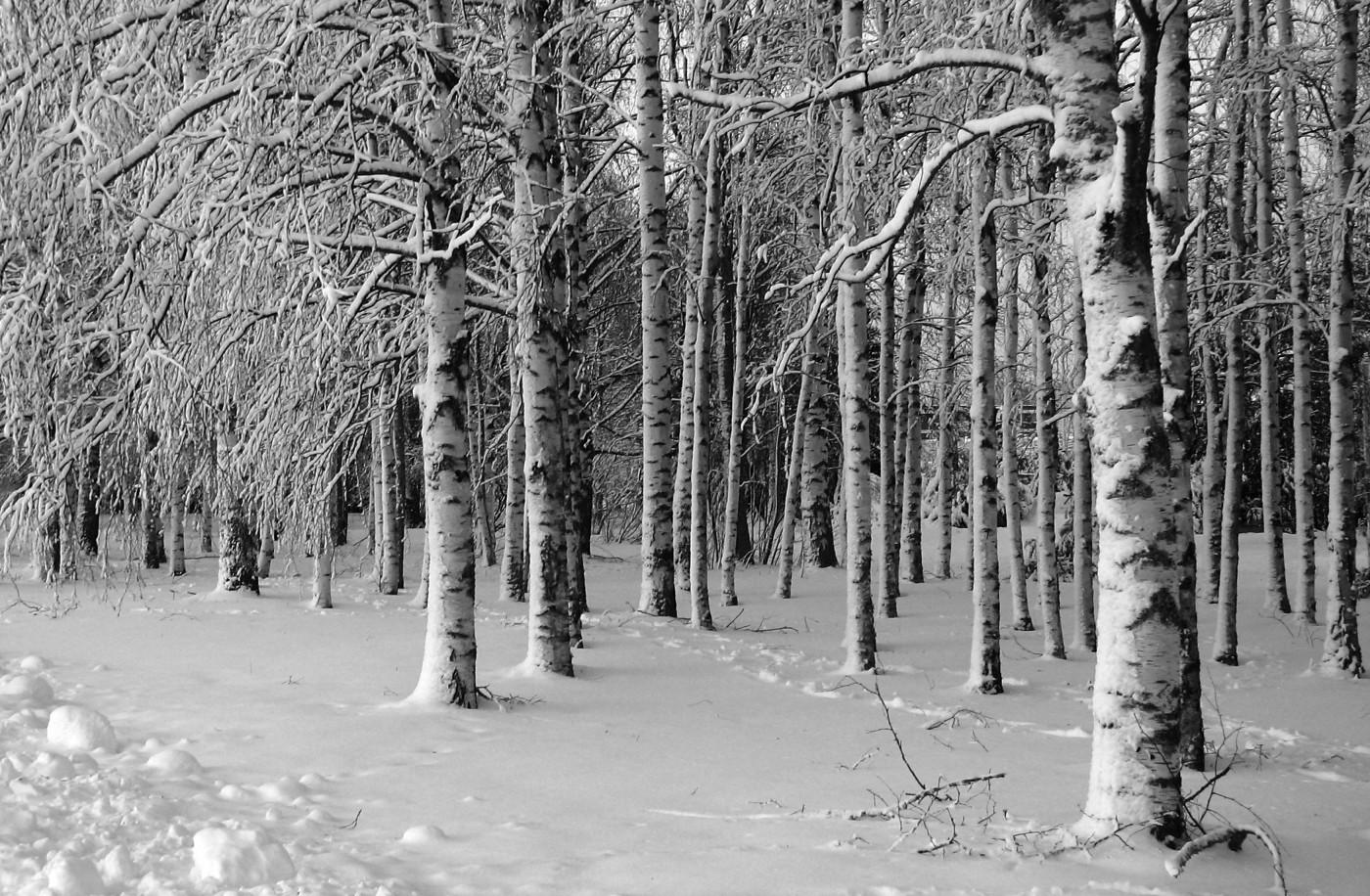 berken in sneeuw